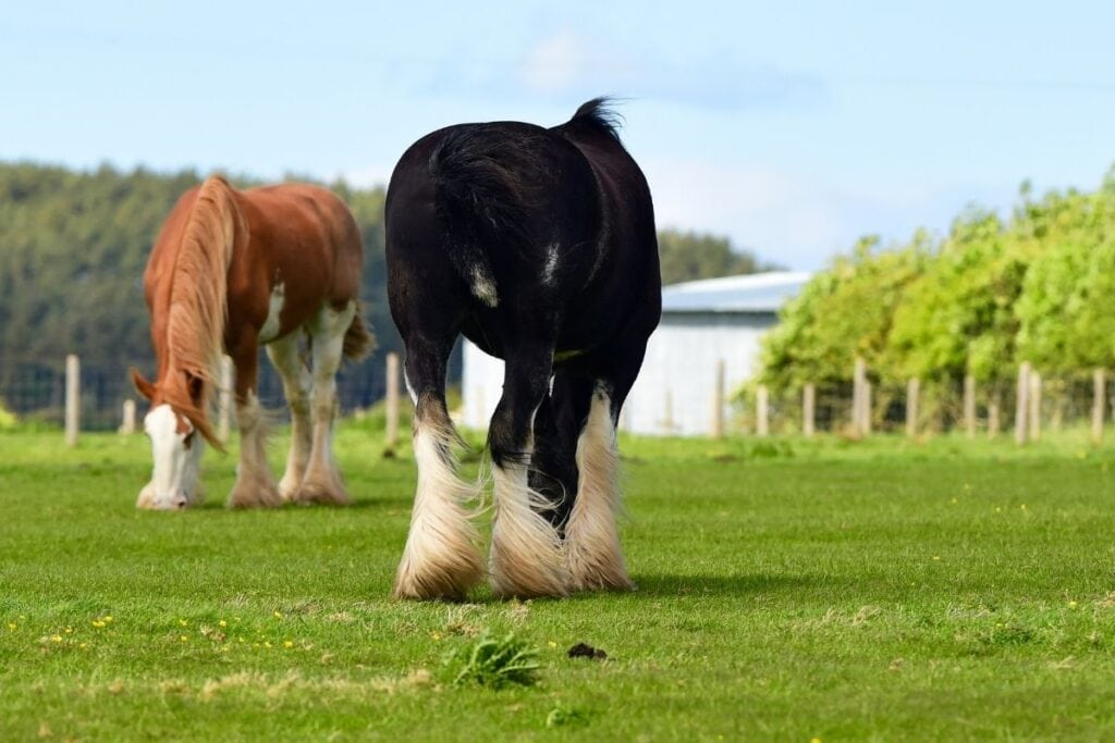 clydesdale horses in a field