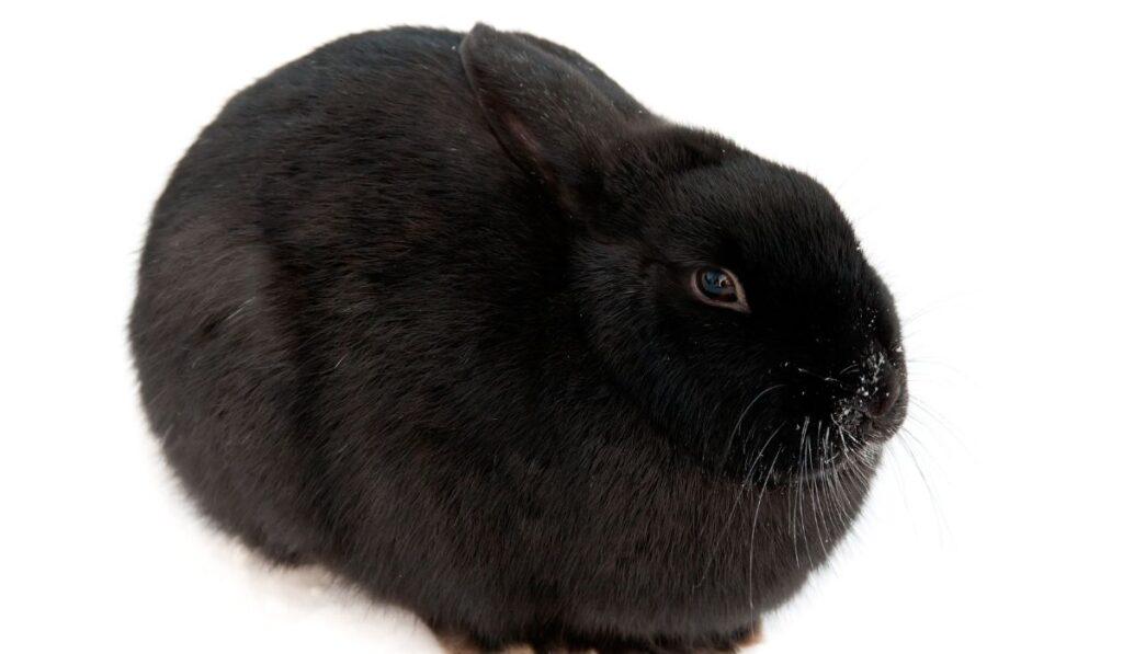 Black Polish Rabbit