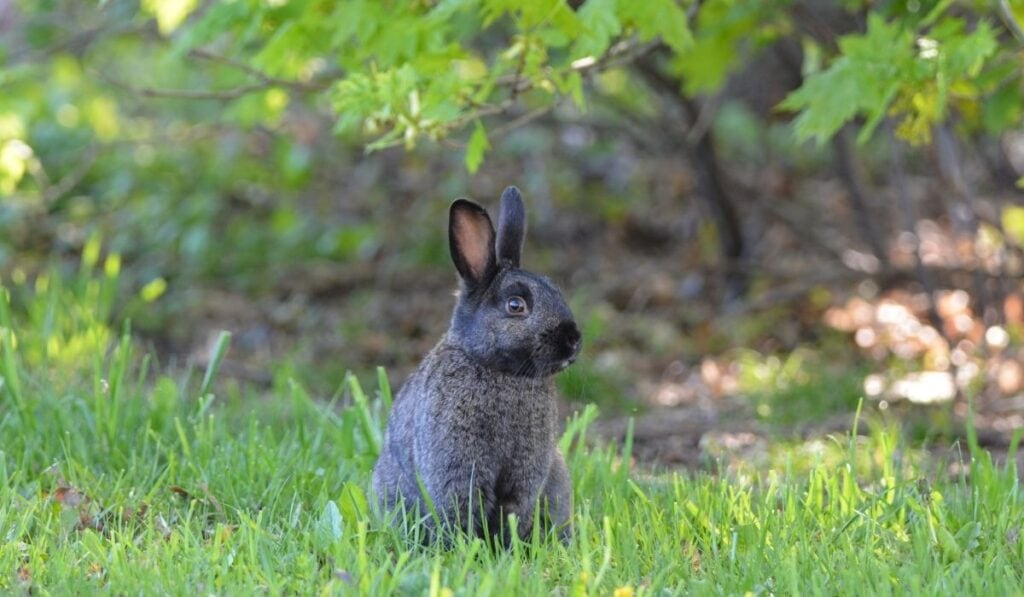 Black Rabbit On Grass