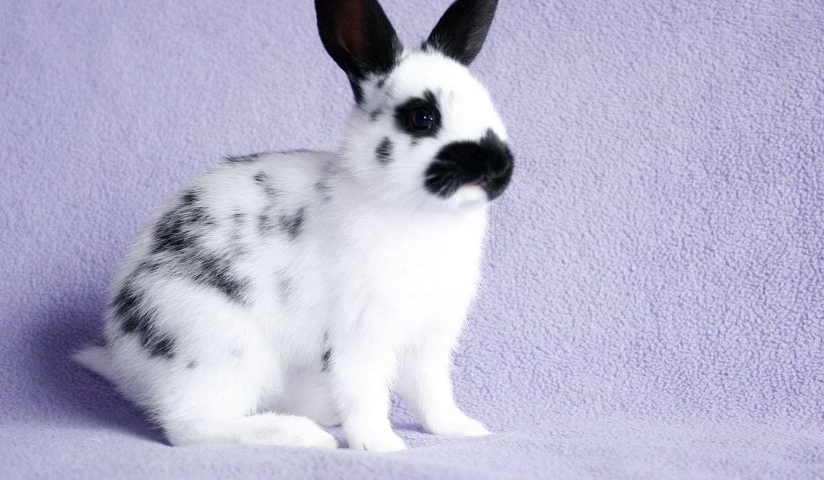 black and white english spot rabbit
