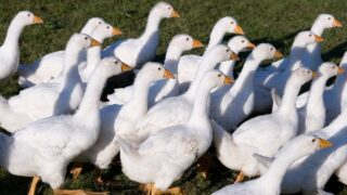 group of white geese