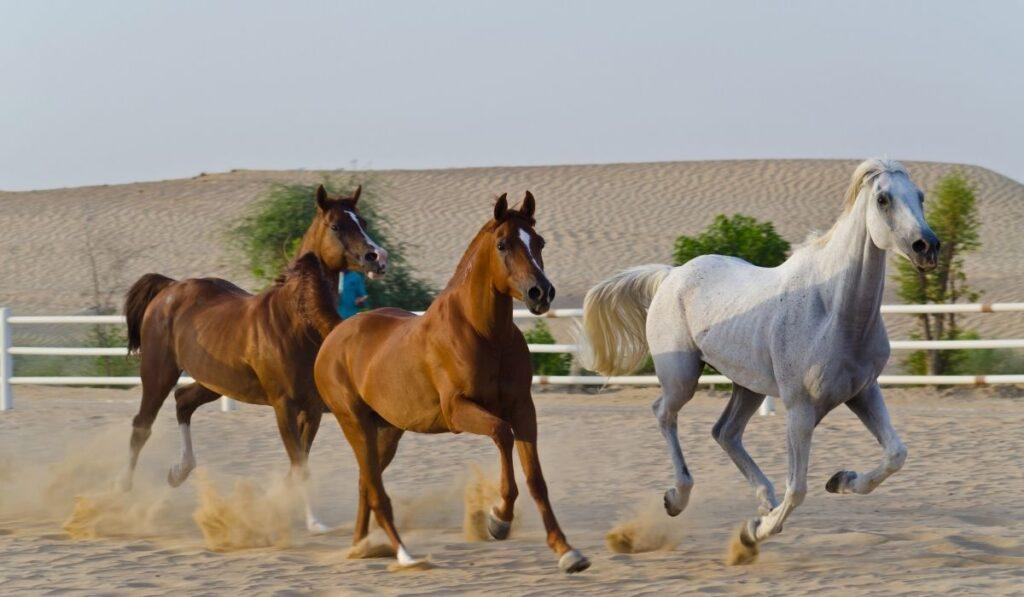 Arabians Horse Breed