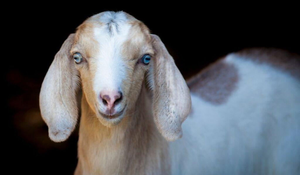 Blue-Eyed Goats