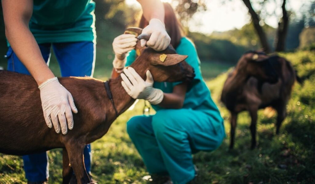 Caring for Pregnant Goat