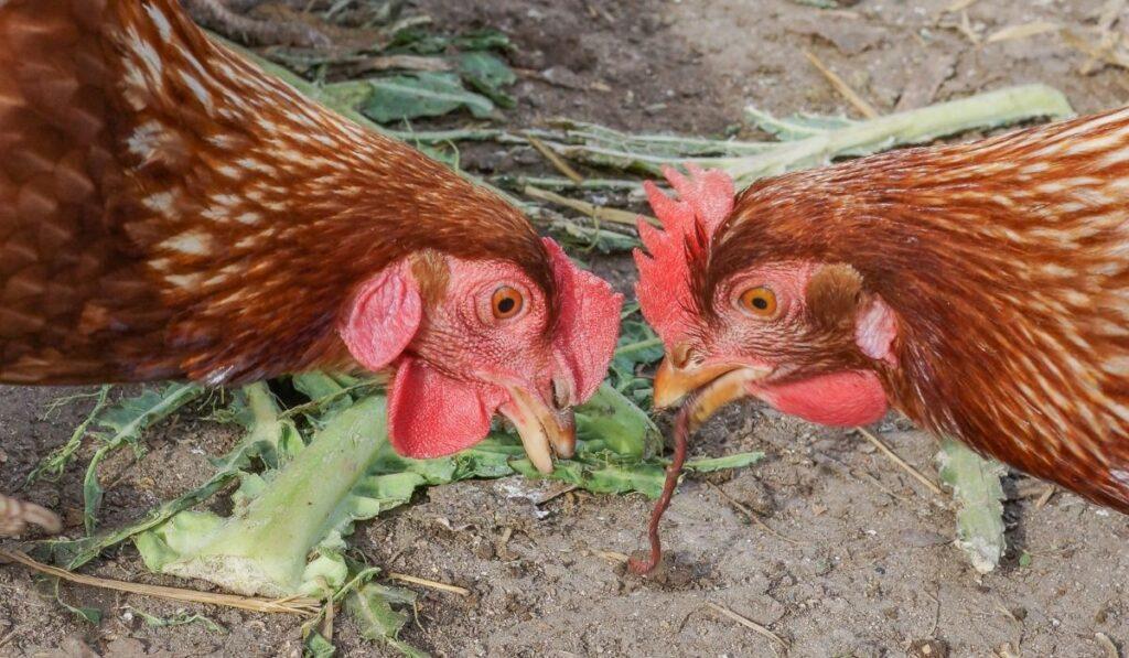Chicken Eating Worm