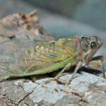 Are Cicadas Dangerous?