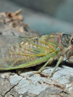 Cicada on a tree branch