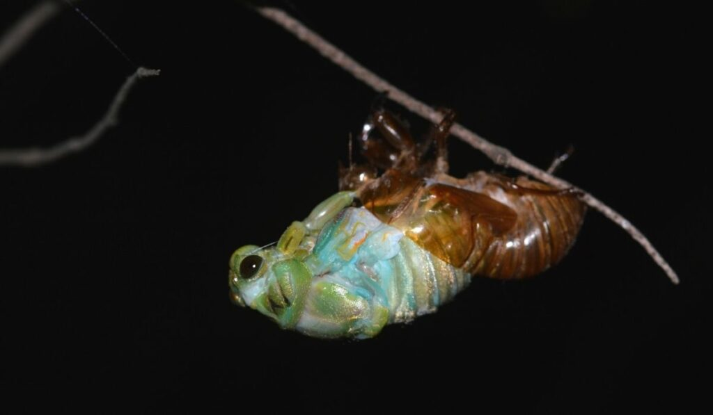 Cicadas undergo metamorphosis