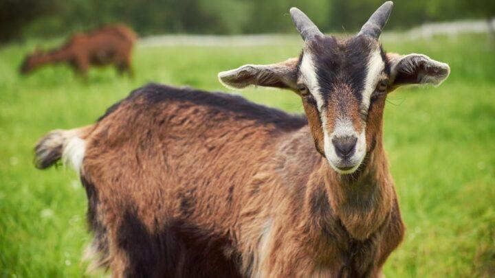 goat in the field