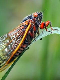 ground dwelling cicada bug