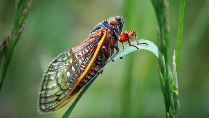 ground dwelling cicada bug