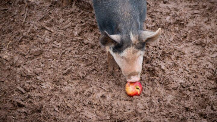 pig eating an apple