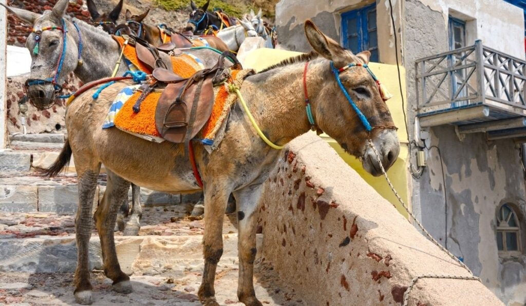 Mules that are lined up waiting for tourists