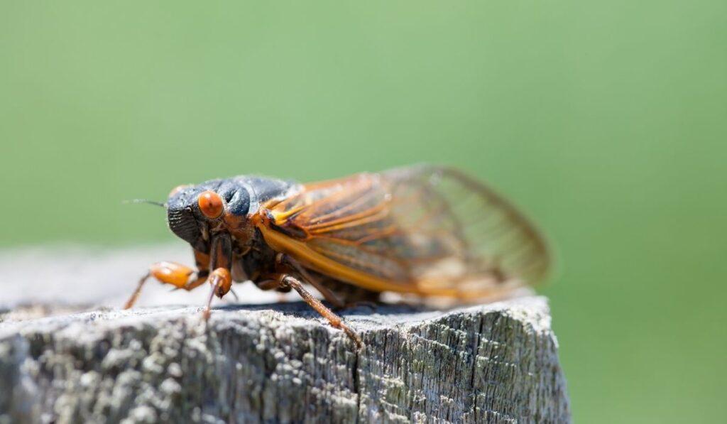 Ground Dweller Cicada Bug
