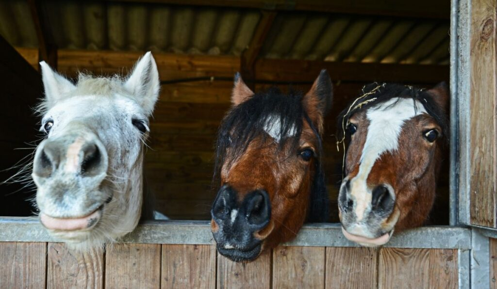 Three Horses In Their Stable