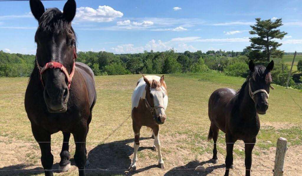 Three Horses of Different Sizes