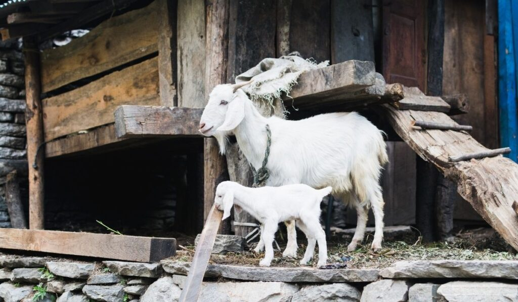 White Nanny-Goat and Goatling in the barnyard