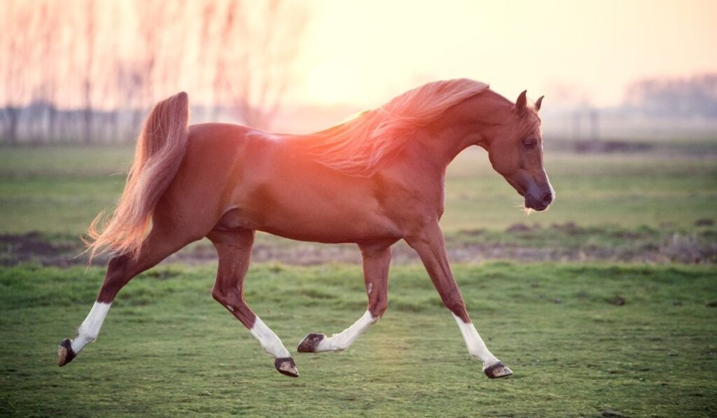 arabian horse captured in motion