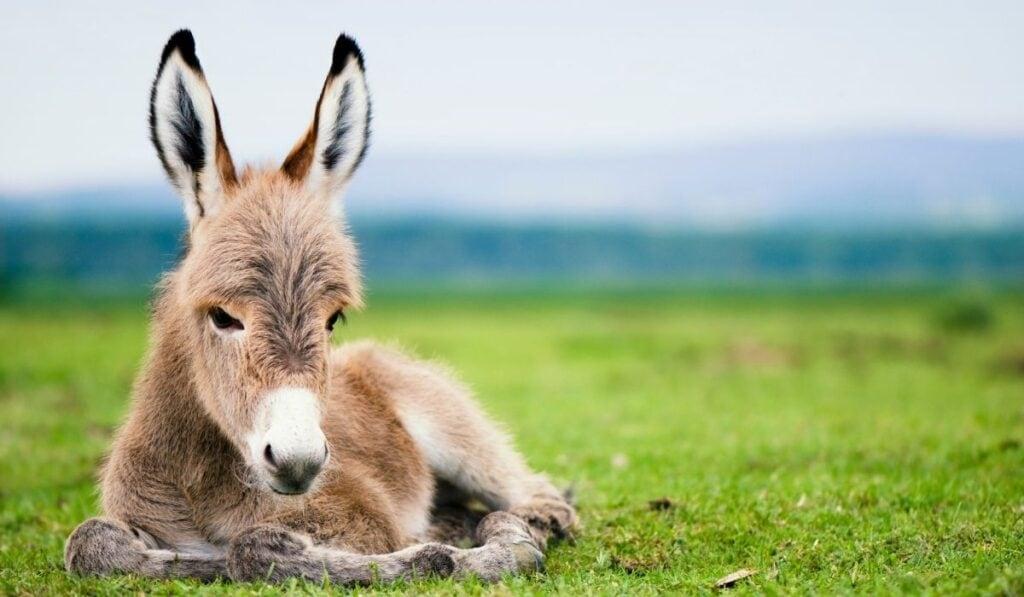 baby donkey in the field