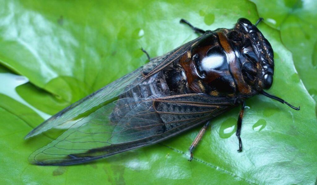 black and dark brown cicada on a leaf