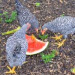 What Fruits Can Chickens Eat?