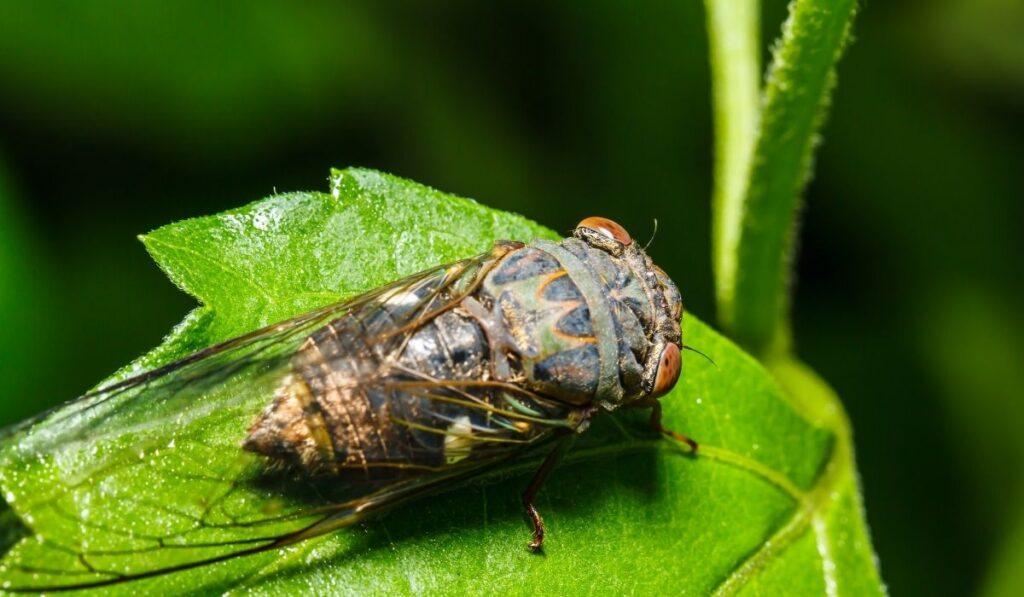 cicadas eating leaf
