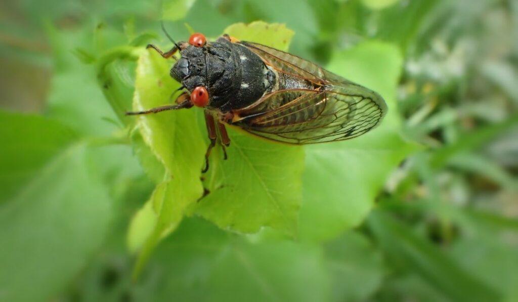 cicada eating leaf..