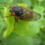 What Do Cicadas Eat?