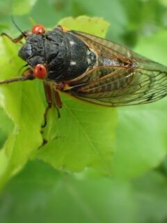 cicada eating leaf..