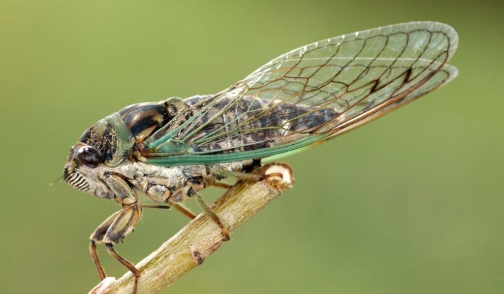 cicada on a tree branch..