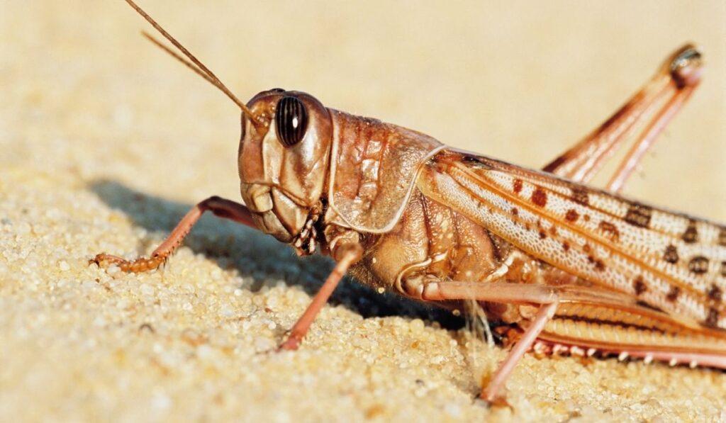 close up of a locust