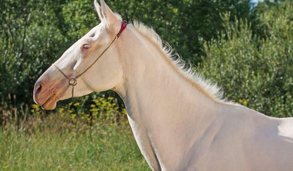close up photo of akhal teke horse