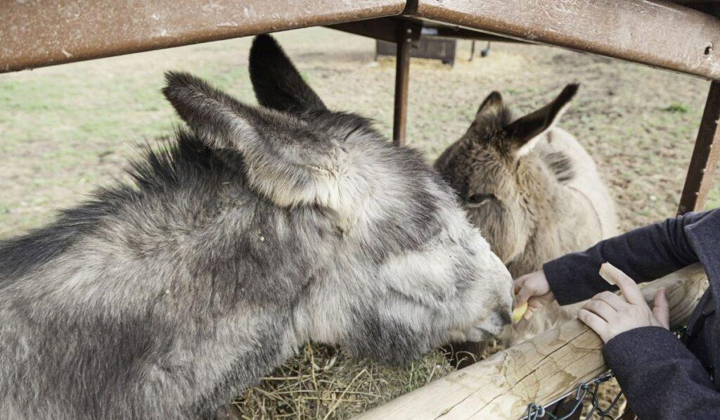 donkeys eating cucumber