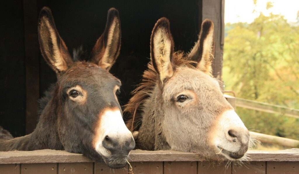 donkeys in their stable