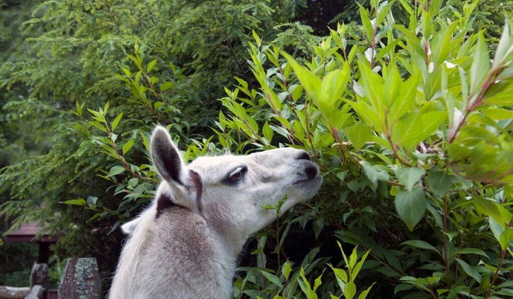 llama eating a tree leaves