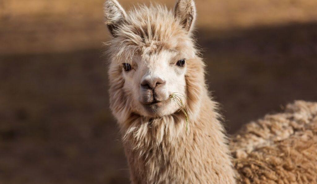 llama looking straight through the camera