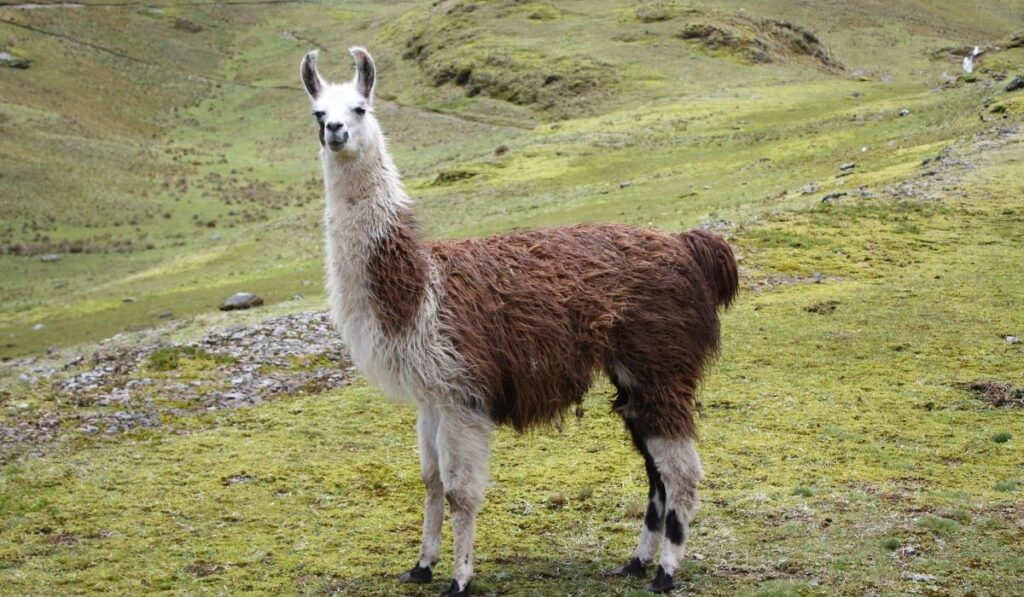 llama standing in a vast field