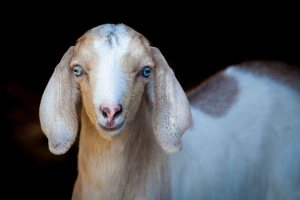 pretty goat with blue eyes