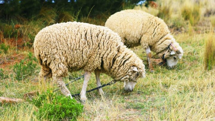 sheep eating grass at the farm
