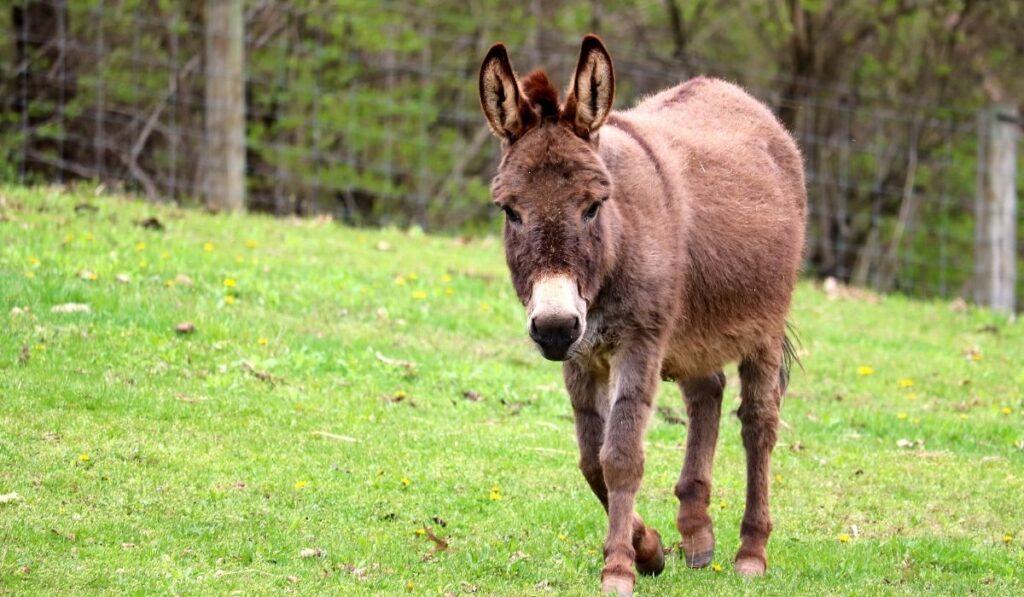 walking Miniature Donkey