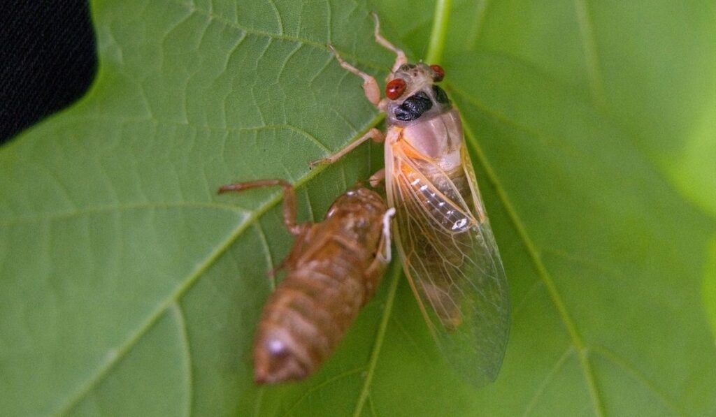 young cicada next to Shed on a leaf