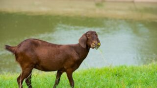 Adult-Goats-Wag-Their-Tails