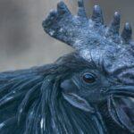 11 Black Chicken Breeds