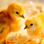 Ultimate Guide to Raising Baby Chicks