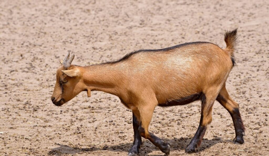 Brown Goat Tail