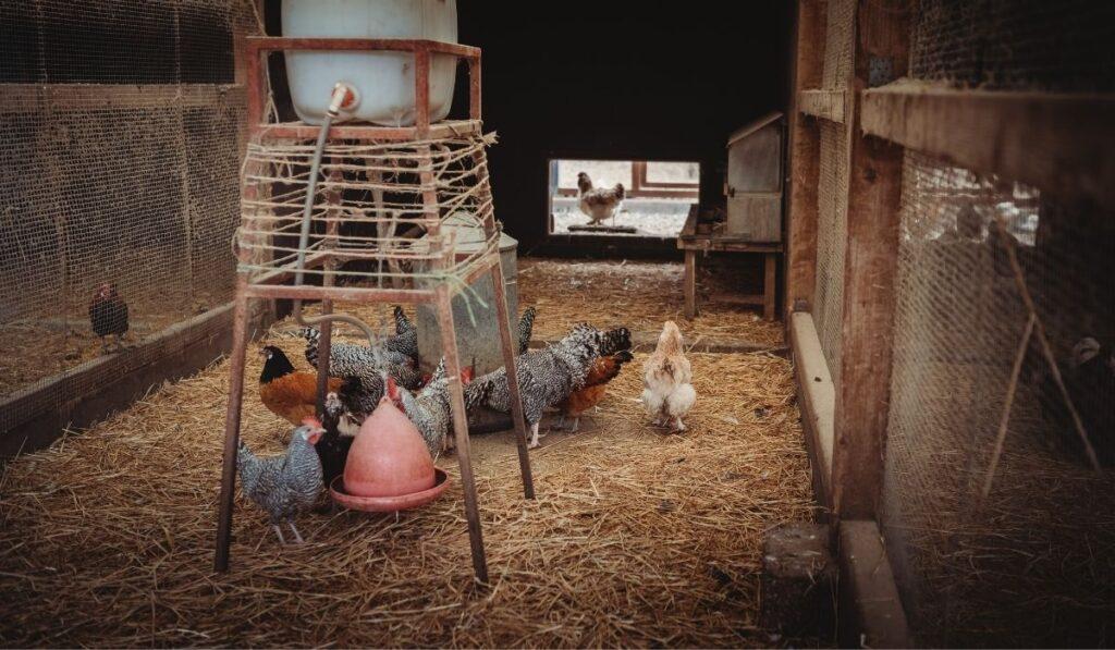 Chicken Coop Insulated Walls