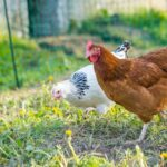 9 Best Chickens For Cold Climates
