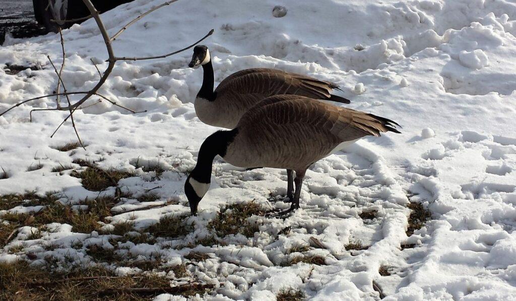 Geese Finding Food