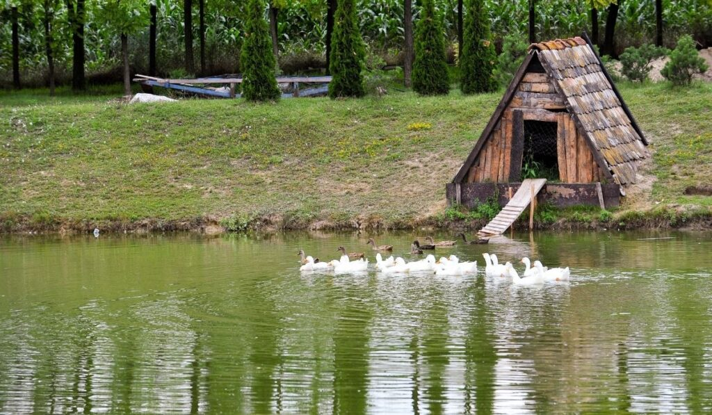 Geese Shelter