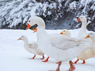 Geese-during-winter